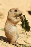 behandla som ett barn hunden som äter leafprärien Royaltyfri Foto