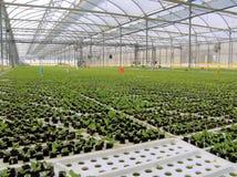 behandla som ett barn hydroponic grönsallater Royaltyfri Foto