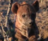 Behandla som ett barn hyenan Arkivfoto