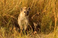 Behandla som ett barn hyenor, Masai Mara Arkivfoton