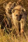 Behandla som ett barn hyenor, Masai Mara Fotografering för Bildbyråer