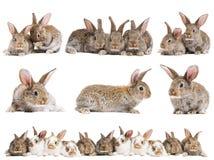 behandla som ett barn inställda bruna kaniner Arkivfoton