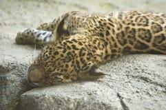 behandla som ett barn jaguar Royaltyfri Foto