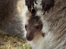 behandla som ett barn kängurun Arkivfoton