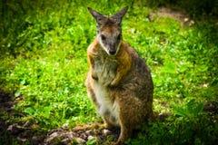 Behandla som ett barn kängurun arkivfoto