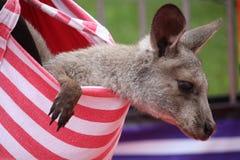 Behandla som ett barn kängurun Royaltyfri Bild