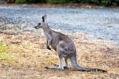 Behandla som ett barn kängurun som äter gräs i ett fält Royaltyfri Fotografi