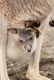 Behandla som ett barn kängurun som sitter i dess moderpåse Fotografering för Bildbyråer