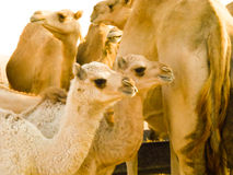2 behandla som ett barn kamel Royaltyfria Foton