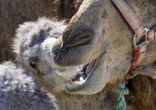 behandla som ett barn kamelmodern Royaltyfri Fotografi