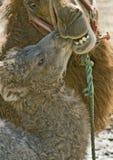 behandla som ett barn kamelmodern Fotografering för Bildbyråer