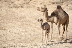 behandla som ett barn kamelmodern Arkivfoton