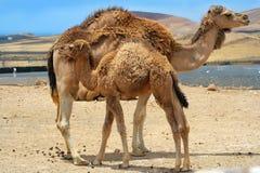 behandla som ett barn kamelmodern nära Royaltyfri Foto