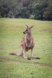 Behandla som ett barn kangorooen på gräset Fotografering för Bildbyråer
