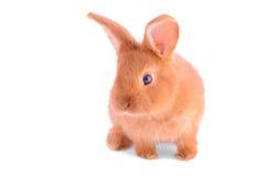 Behandla som ett barn kaninen som isoleras på vit Fotografering för Bildbyråer