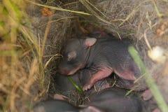 Behandla som ett barn kaniner som är nyfödda, i rede arkivfoto