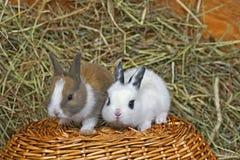 Behandla som ett barn kaniner royaltyfria foton