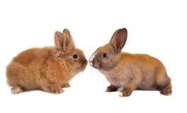 behandla som ett barn kaniner två Arkivfoto