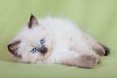 Behandla som ett barn katten Royaltyfria Foton