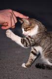Behandla som ett barn katten som spelar med den mänskliga handen Royaltyfri Bild
