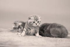 Behandla som ett barn kattungar Fotografering för Bildbyråer