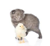 Behandla som ett barn kattungen och nyfödd höna tillsammans tillbaka white Royaltyfri Bild