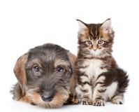 Behandla som ett barn kattungen och valpen tillsammans bakgrund isolerad white Arkivbilder