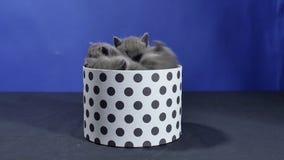 Behandla som ett barn kattungenederlaget i en rund ask arkivfilmer