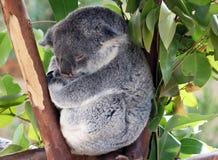 behandla som ett barn koalaen Royaltyfri Foto