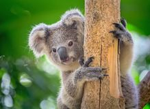 Behandla som ett barn koalan Royaltyfria Foton