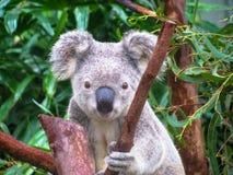 Behandla som ett barn koalan Royaltyfria Bilder