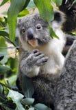 Behandla som ett barn koalan Fotografering för Bildbyråer
