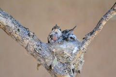 Behandla som ett barn kolibrier arkivbilder
