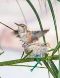 Behandla som ett barn kolibrin som är klar att lämna redet Arkivbild