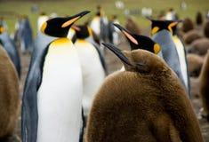 behandla som ett barn konungpingvinet Royaltyfri Bild