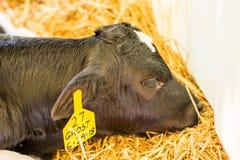 Behandla som ett barn kor på en mejerilantgård i centrala Pennsylvania royaltyfri fotografi