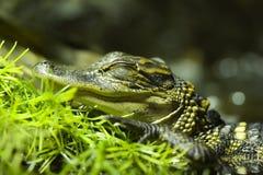 behandla som ett barn krokodilen Royaltyfria Foton