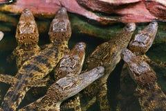 Behandla som ett barn krokodilen Royaltyfri Fotografi