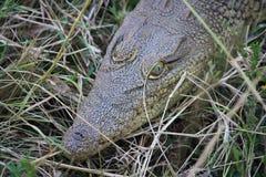 Behandla som ett barn krokodilen Royaltyfri Bild