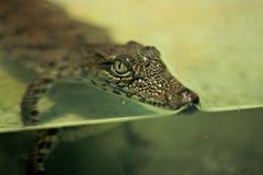 Behandla som ett barn krokodilen Fotografering för Bildbyråer