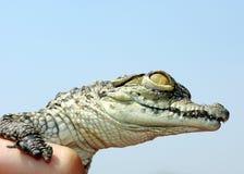 behandla som ett barn krokodilen nile Arkivbild
