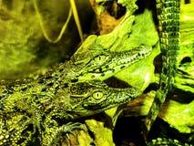 Behandla som ett barn krokodiler Royaltyfria Bilder