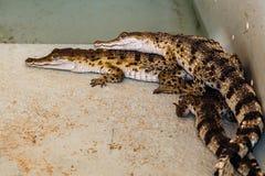 Behandla som ett barn krokodiler som lägger på de i filippinsk lantgård nära Puert arkivbild
