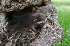 Behandla som ett barn lögner för tvättbjörnar som (Procyonlotor) breda ut sig ut i journal Royaltyfri Bild