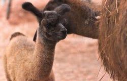 behandla som ett barn lamaen Arkivbild