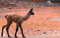 behandla som ett barn lamaen Royaltyfria Bilder