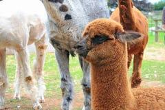 behandla som ett barn lamaen Royaltyfri Bild