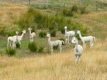 behandla som ett barn lamaen Fotografering för Bildbyråer