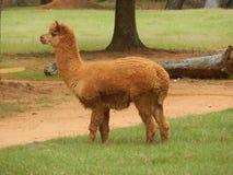 behandla som ett barn lamaen Arkivfoton