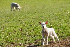 behandla som ett barn lambs arkivfoto